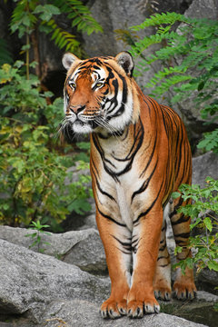 Close up front portrait of Indochinese tiger