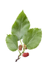 a branch of mulberry with leaves and berries