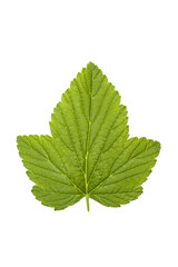 Currant leaf isolated on white background