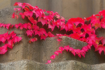 Red creeping plant on the building, detailed viw