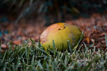 Green Coconut in the Grass
