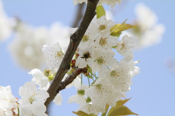 Papiers peints Fleur de cerisier abeille et fleurs de cerisiers 2018