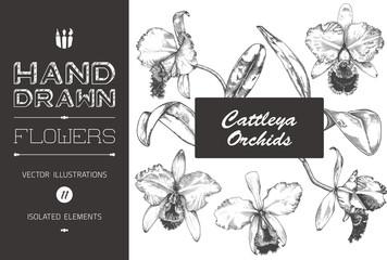 Hand Drawn Cattleya Orchid Illustrations
