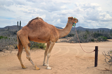 Camel in scenic Mexico. Travels. Recreation