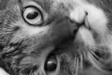 Funny muzzle of a gray striped domestic cat close-up