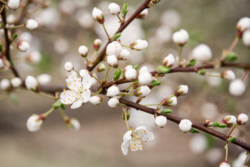 Detail of spring blossom of cherry tree