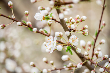 Spring blossom of cherry tree, macro photo