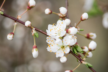 Blossom of cherry tree on branch, macro photo