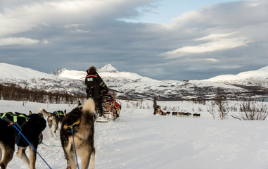 Sled Dogs, Norway Tromso