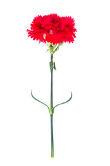 One red carnation isolated on white background
