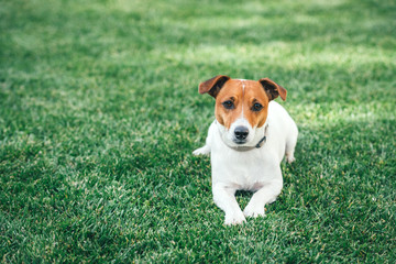 Jack russel terrier on green lawn. Happy Dog with serious gaze
