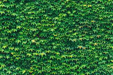 Texture of ivy leaves closeup. Green wall in garden. Gardening background
