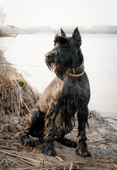 Giant schnauzer on the river bank. German breed of dogs