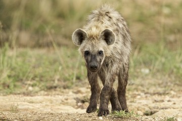 Inquisitive Hyena