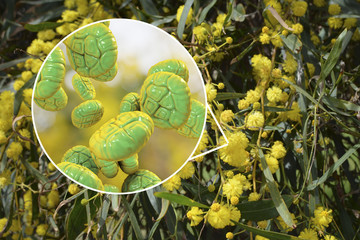 Mimosa pollen, close-up view, 3D illustration, and photo of mimosa flowers. Pollen is a factor causing hay fever and allergic rhinitis