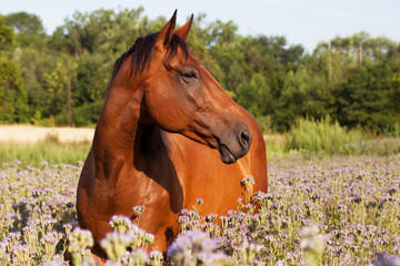 Portrait of nice horse on meadow violet flowers
