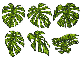Monstera leaf sketch by hand drawing.Monstera vector set on white background.Vector leaves art highly detailed in line art style.