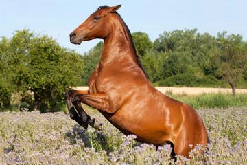 Nice brown horse prancing on meadow violet flowers