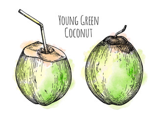 Ink sketch of young green coconut.