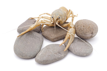 White crayfish on the stone.