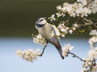 spring bird beautiful blue tit with blooming blossoms