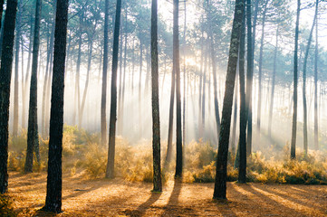 Fabulous european forest.  Picturesque sunrise in Portugal. Fairy tale scenic view.  Magnificent sun rays in pine trees.  Beautiful seasonal nature landscape. Vivid colors. Sun light in wild territory