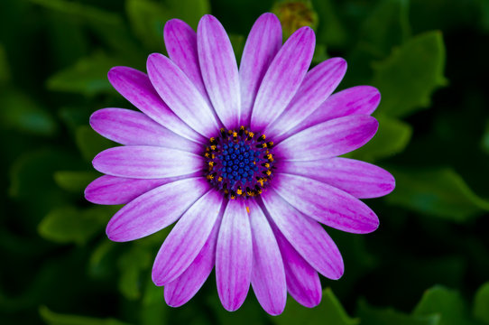 Macro photo of flowers, purple daisy