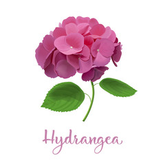 hydrangea flowers. Vector highly detailed realistic illustration. isolated. Hortensia flower. Can be used as wedding element