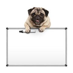 cute pug puppy dog hanging with paws on blank marker white board, promotional sign, isolated on white background
