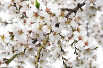flowering of fruit trees