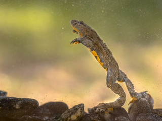 Submersed Yellow bellied toad