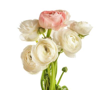 Beautiful ranunculus flowers on white background