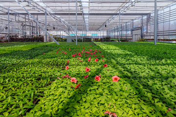 Growing of red petunias in modern hydroponic greenhouse with climate control system