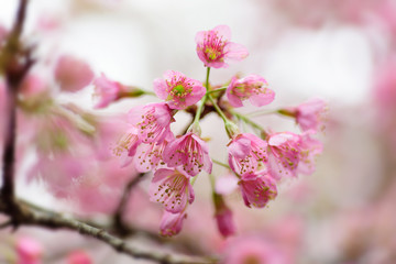 Beautiful pink cherry blossom in Chiangmai, Thailand