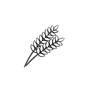 Wheat ears vector hand drawn outline doodle icon. Ripe ears of wheat vector sketch illustration for print, web, mobile and infographics isolated on white background.