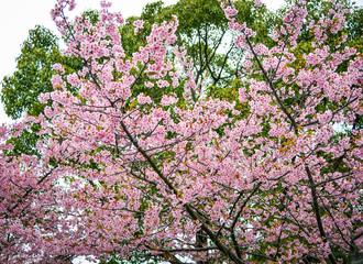 Cherry blossom in Nagoya, Japan