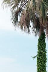 蔦這うヤシの木