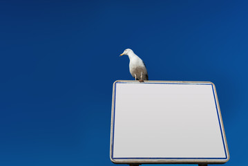 White notice board with European Herring Gull