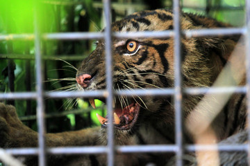 A Sumatran tiger cub is seen in a cage installed by the Nature Conservation Center at a residential area near Palupuh forest in Agam Regency