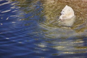 Polar bear cub eating on the water. Wildlife animal background