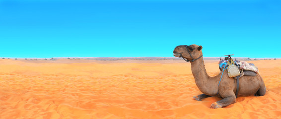 Horizontal banner with camel in Sahara desert, Morocco