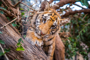 Tiger portrait - wild Animal photo in Africa. Animal Freedom photo, edit space