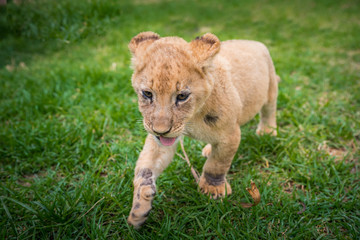 Lion play on the grass - beautiful photo, edit space