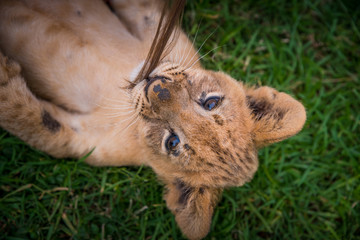 Beautiful young lion on green grass