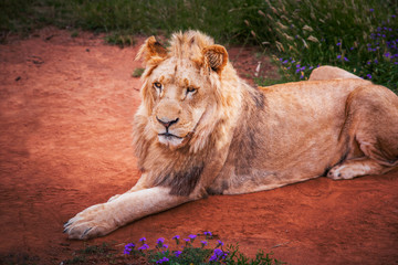 Wild lion on red ground - Animal in Africa