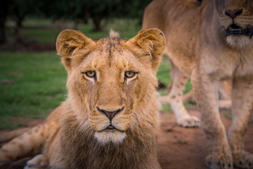 Lion female portrait. Close up photo