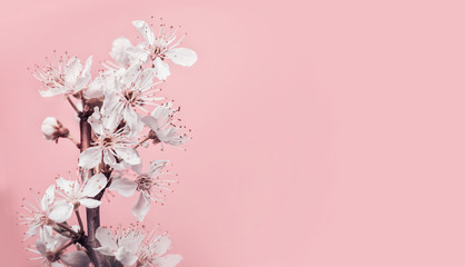 White cherry blossom at pastel pink background, spring nature and holidays layout Wall mural