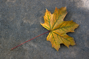 Autumn leaf, green, yellow and orange color, isolated on dark cement floor..