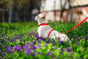 Side view picture of a kitten on the leash sitting in flowers and looking up