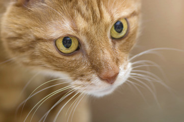Fluffy red cat with big green eyes closeup
